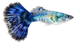Blue guppy fish. Poecilia reticulata
